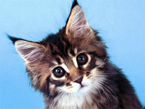 gatto toxoplasmosi